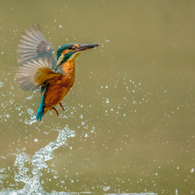 """Kingfisher emerging after a dive"" stock image"