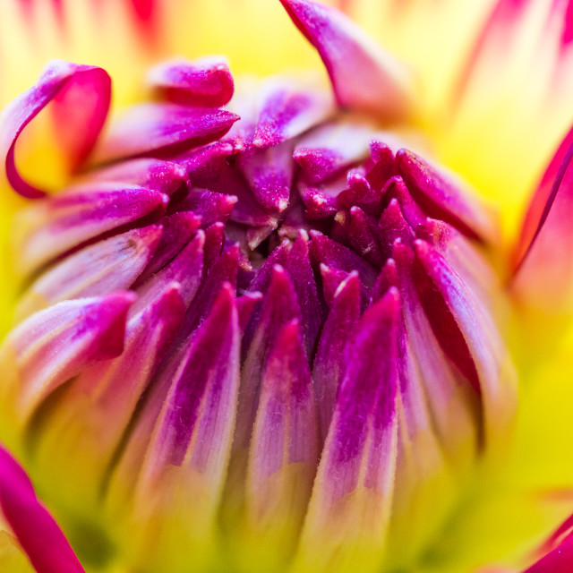 """Pink and Yellow Dahlia"" stock image"