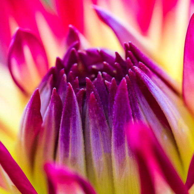 """Dahlia Abstract"" stock image"