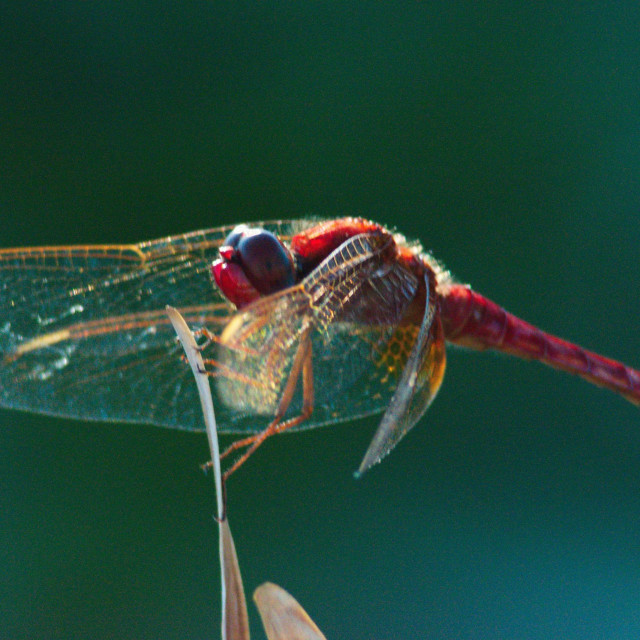 """""""dragonfly wings"""" stock image"""