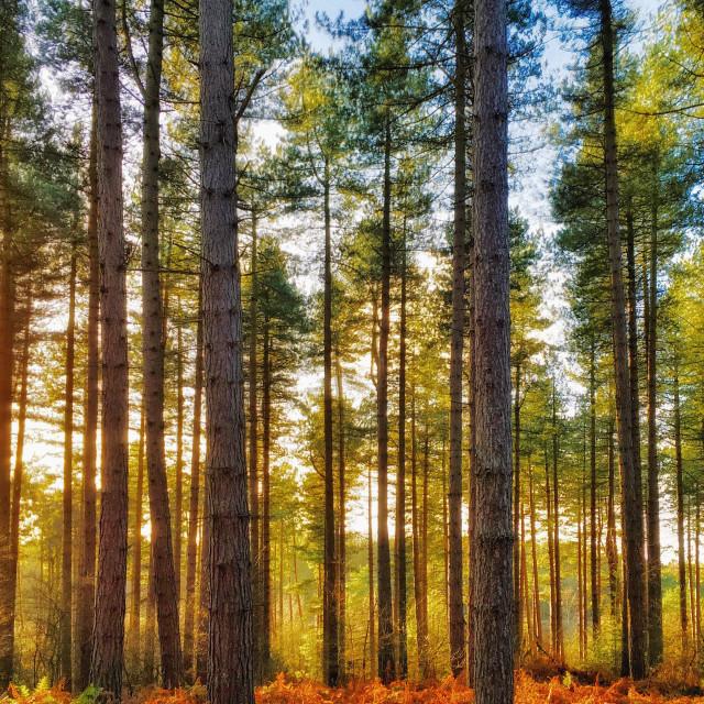 """""""Trees in golden light"""" stock image"""