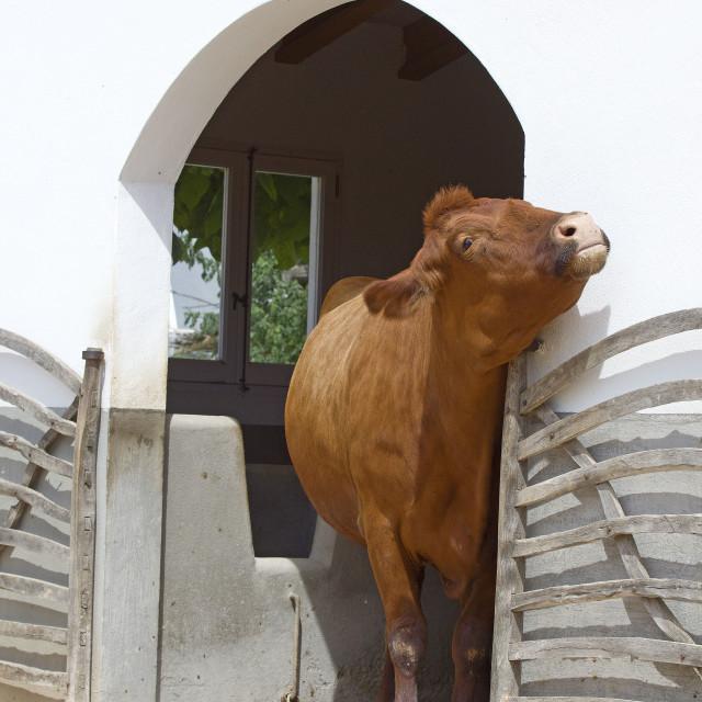 """Menorcan cow"" stock image"