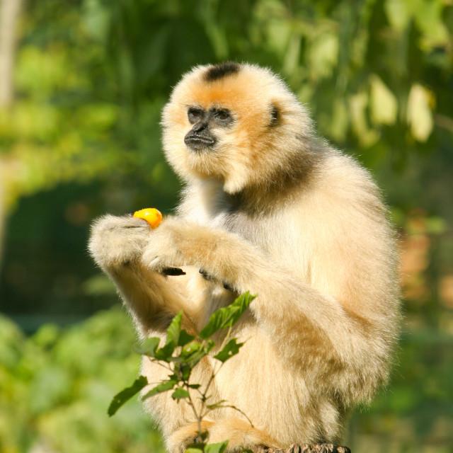 """Eastern Black Crested Gibbon"" stock image"
