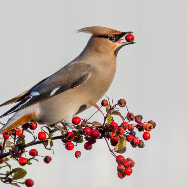 """Waxwing sitting on a bush with a red berry in its beak"" stock image"