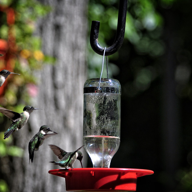 """Humming Bird landing"" stock image"
