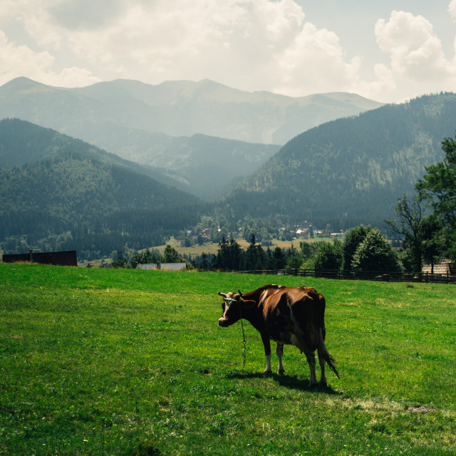 """""""Brown Mountain Cow"""" stock image"""