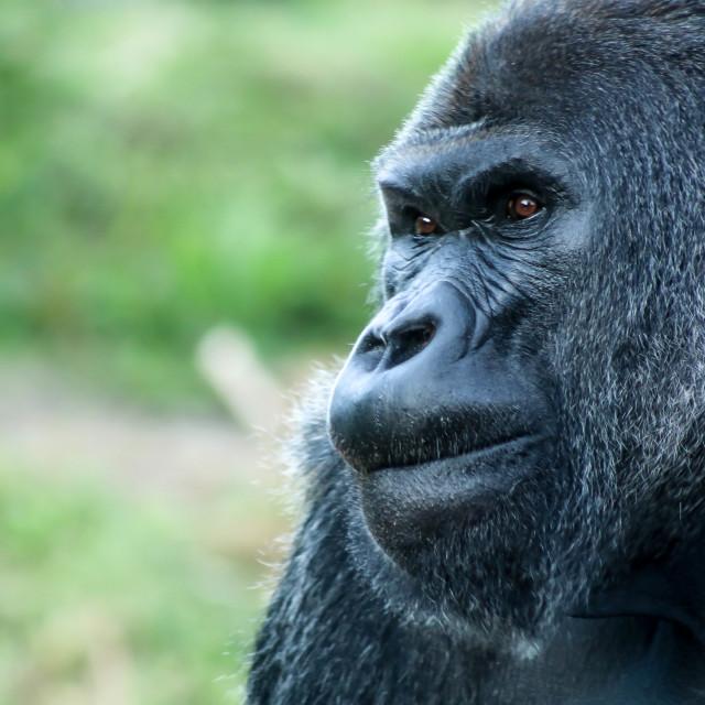 """Silverback Gorilla"" stock image"