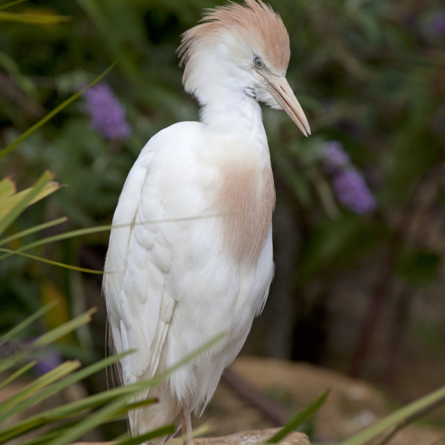 """Cattle egret"" stock image"