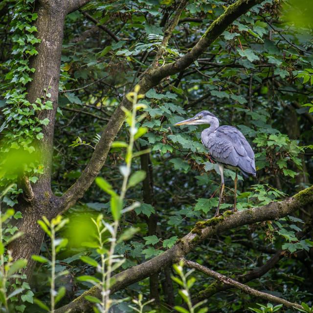 """""""Tree Heron"""" stock image"""