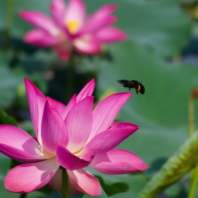 """""""Nice pink lotus with another blurry in background"""" stock image"""