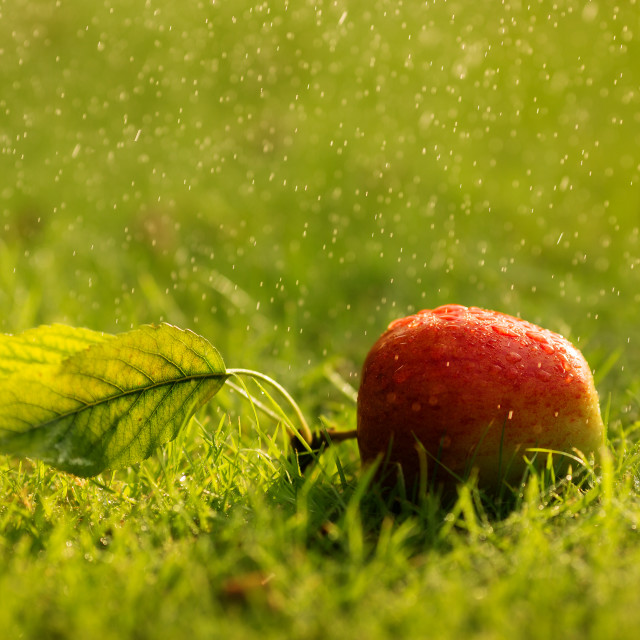 """Apple on grass with water droplets"" stock image"