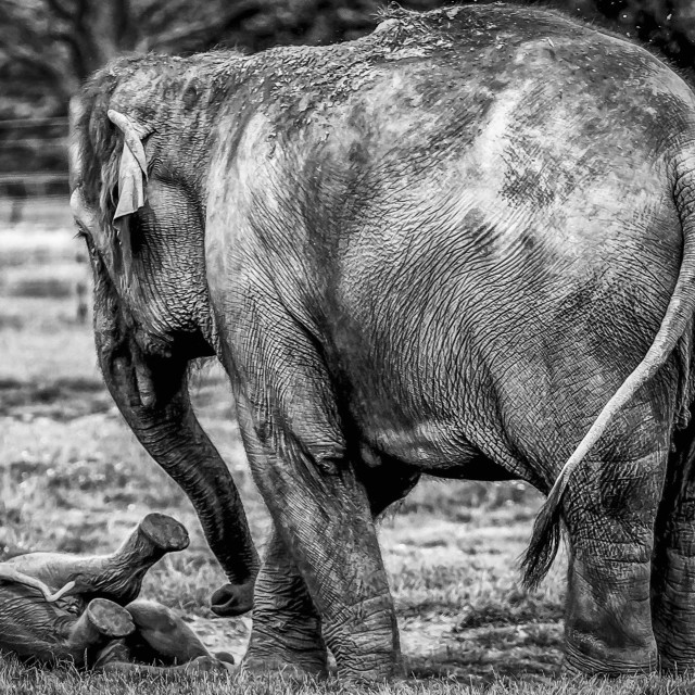 """Mother & Baby Elephant Play."" stock image"