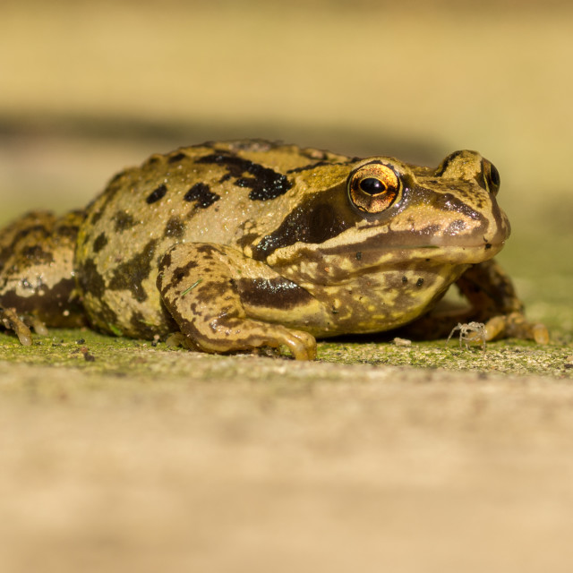 """Close Up of Frog"" stock image"