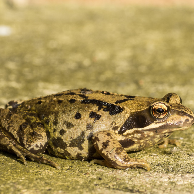 """Side View of Frog"" stock image"
