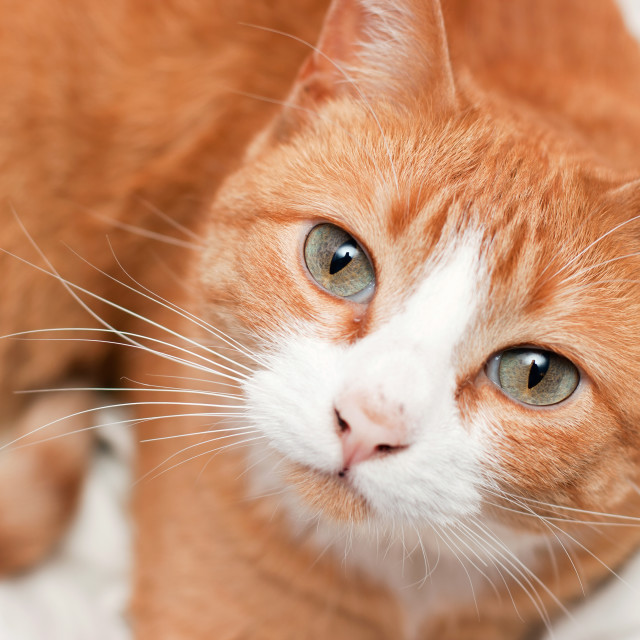 """Sweet Orange Kitty"" stock image"