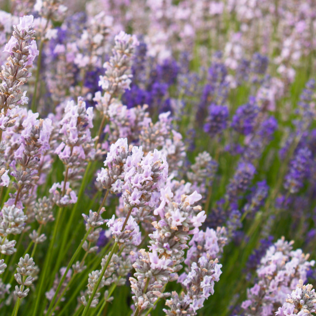 """English Lavender"" stock image"