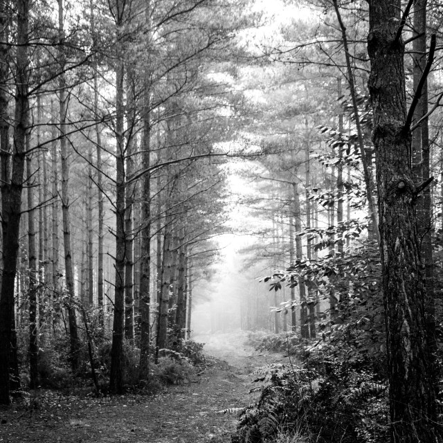 """""""woods in the mist"""" stock image"""