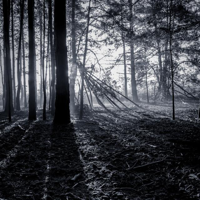 """heath sunrise through the trees"" stock image"