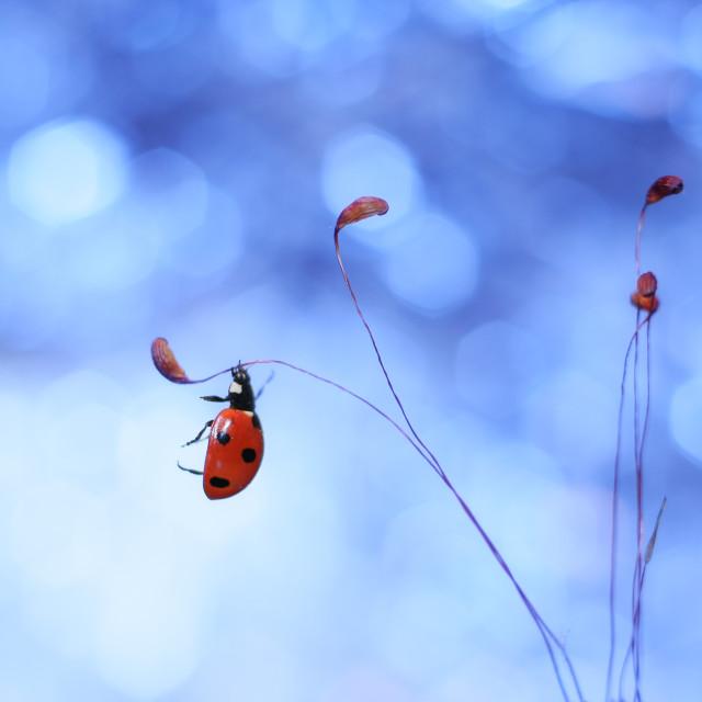 """Ladybug, which hangs on the moss"" stock image"