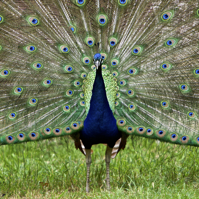 """""""Colorful Blue Ribbon Peacock in Full Feather"""" stock image"""