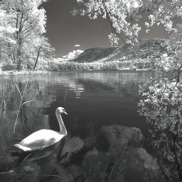 """The swan lake"" stock image"