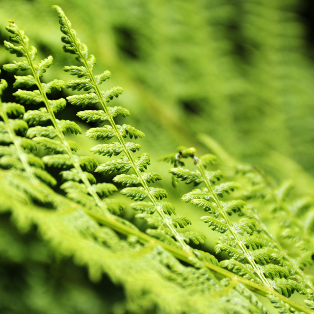 """Fresh fern"" stock image"