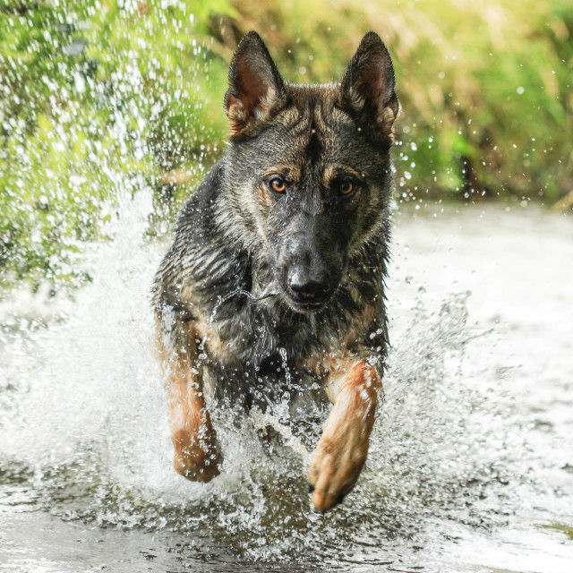 """German Shepherd charging through water"" stock image"