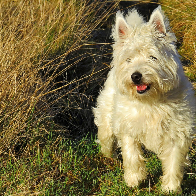 """West Highland Terrier"" stock image"