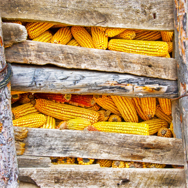 """Corn cobs"" stock image"