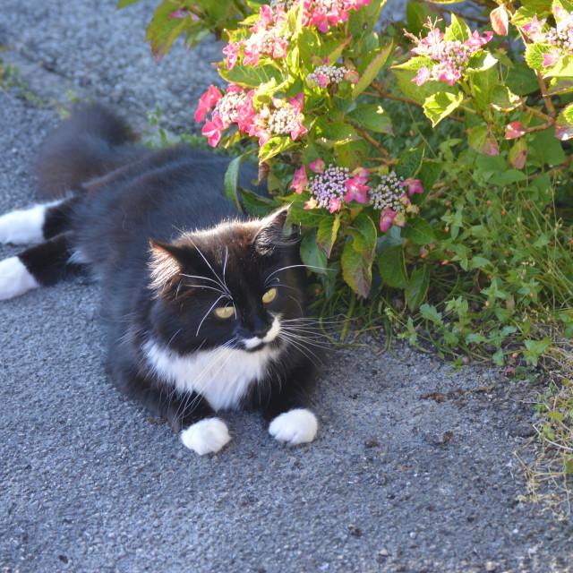 """Cat under the Hydrangeas"" stock image"