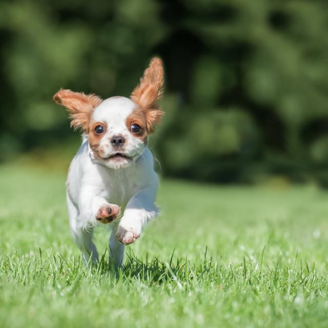 """spaniel puppy running"" stock image"