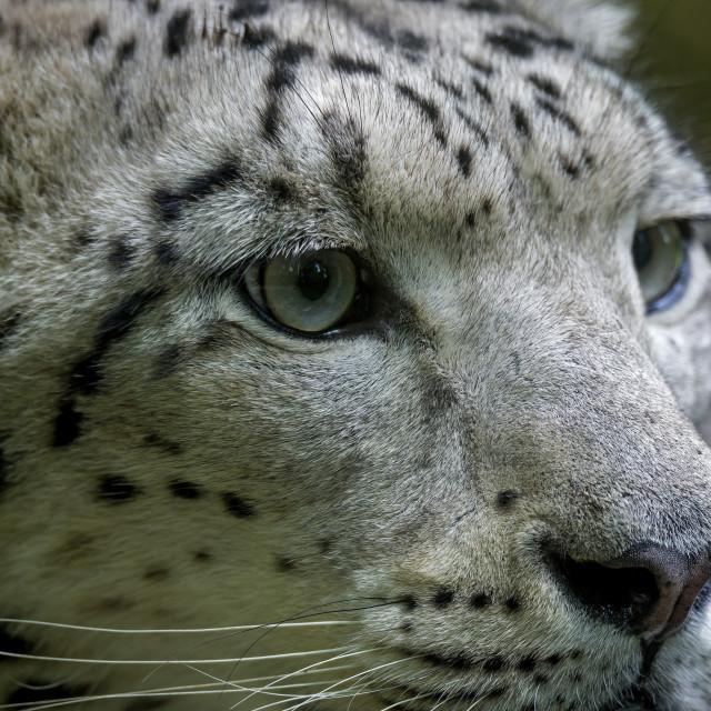 """""""Cheetah snow ( Panthera Uncial )"""" stock image"""