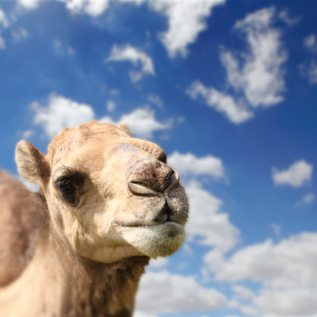 """Camel head agaisnt sky background"" stock image"
