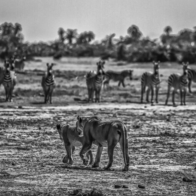"""2 Lions, Many Zebras"" stock image"