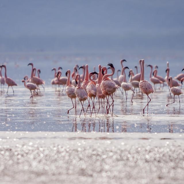"""Flamingos At Nakuru National Park"" stock image"