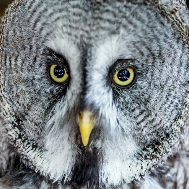 """Owl's Looking At Ya.."" stock image"