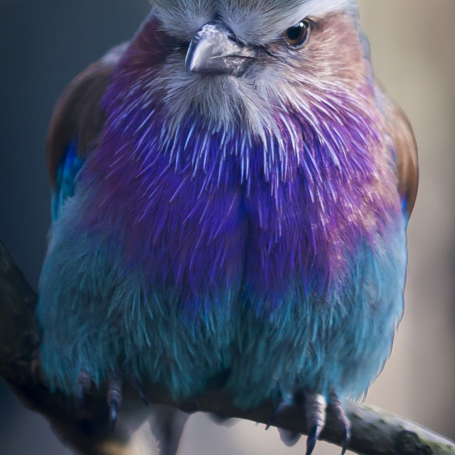 """Lilac Breasted Roller."" stock image"