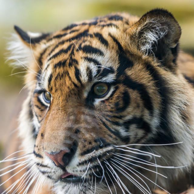 """Tiger Portrait."" stock image"
