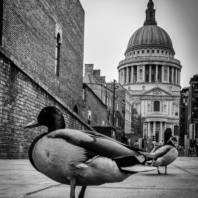 """""""Duck In Town"""" stock image"""