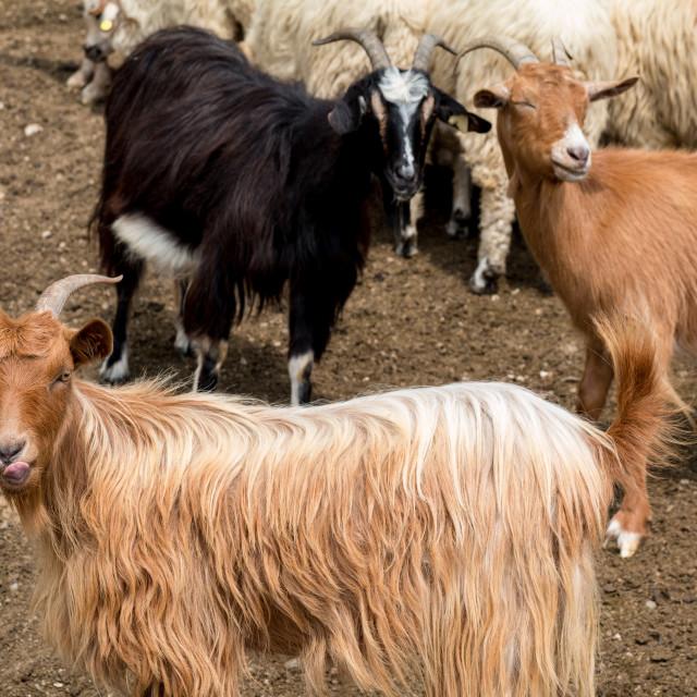 """""""Goats"""" stock image"""