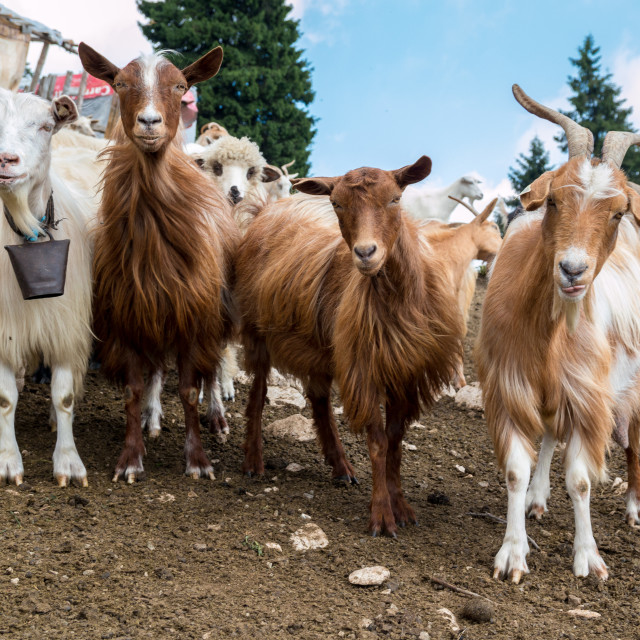 """Funny Goats"" stock image"