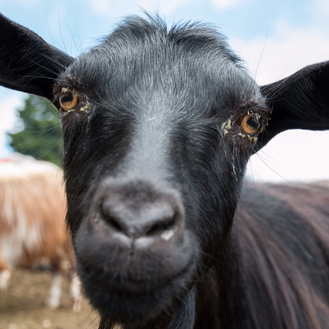 """""""Curious Goat"""" stock image"""
