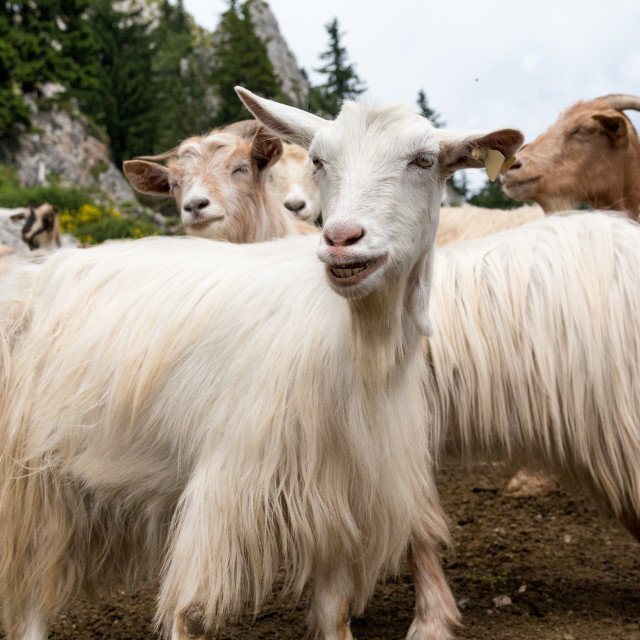 """Funny Goat"" stock image"