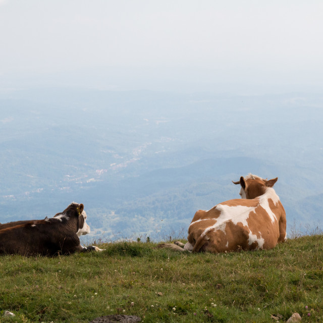 """""""Resting Cows"""" stock image"""