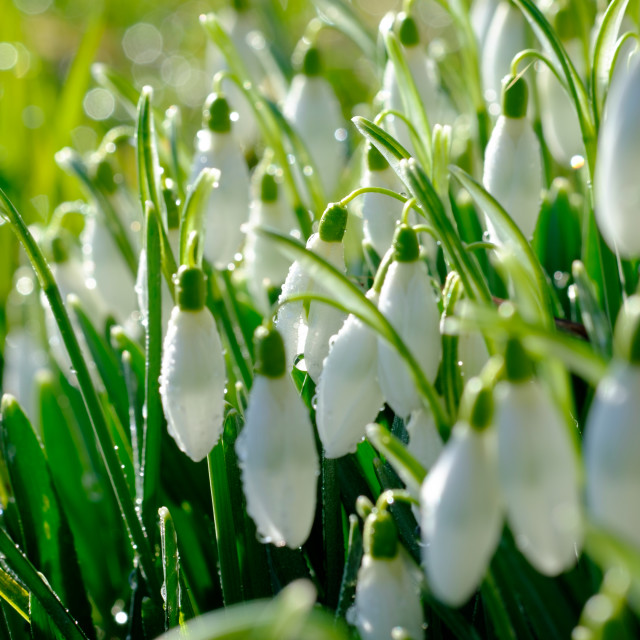 """Dew on Snowdrops"" stock image"