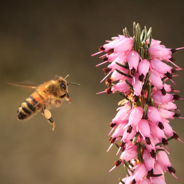 """Honey Bee in flight near heather"" stock image"