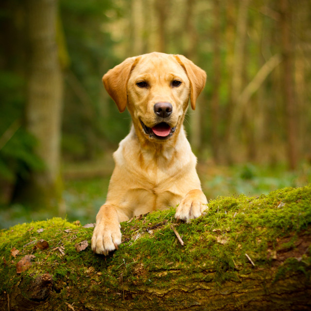 """Golden labrador peeking over log"" stock image"