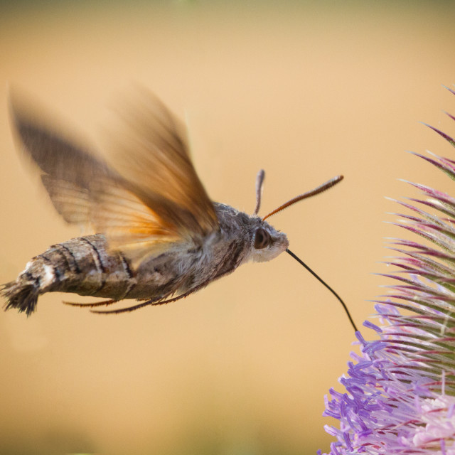 """Hummingbird Moth"" stock image"