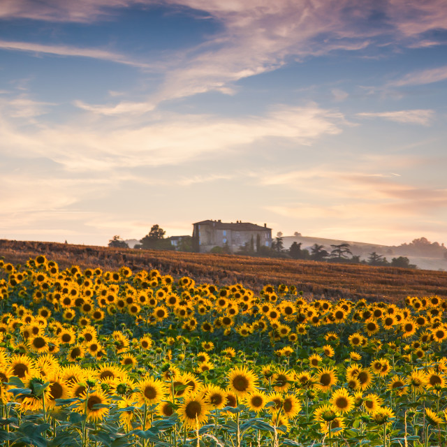 """""""Remote home in Sunflower field"""" stock image"""
