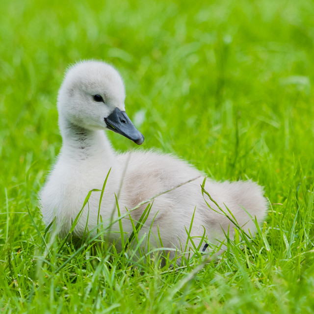 """A young cygnet sitting in grass"" stock image"